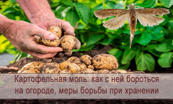 Появилась картофельная моль: как с ней бороться на огороде, меры борьбы при хранении