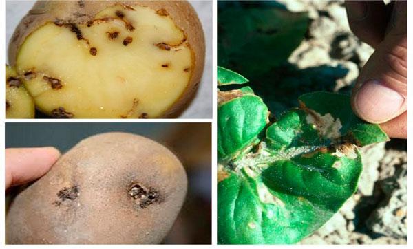 зараженный картофель молью