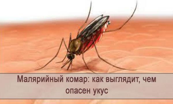 Как выглядит малярийный комар и чем опасен его укус