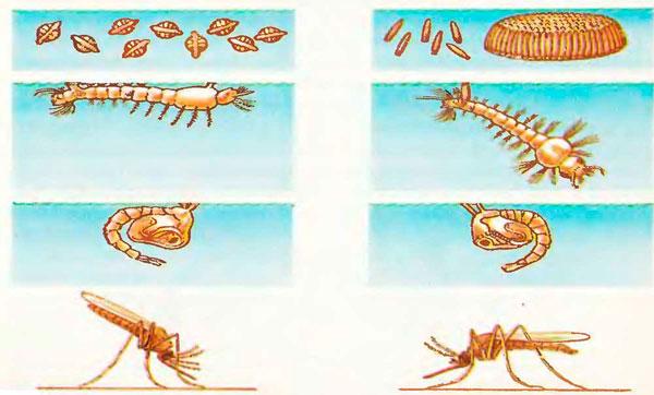 Отличия малярийного комара от обычного