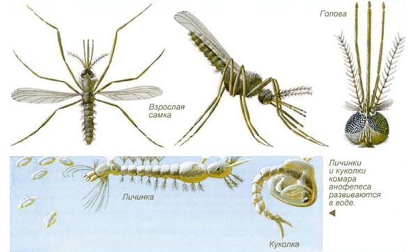 Жизненный цикл малярийного комара