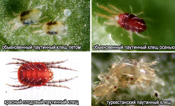Виды паутинных клещей
