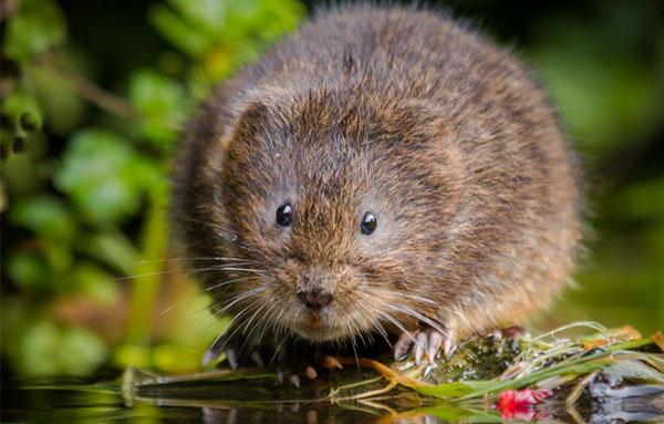 Крыса водяная