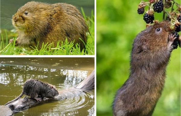 Среда водяной крысы