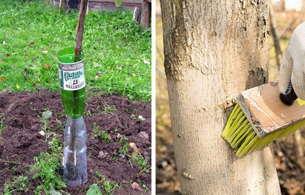 Защита деревьев от крыс
