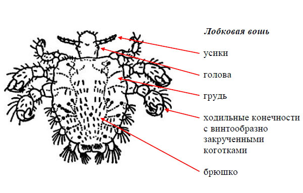 Строение тела вши