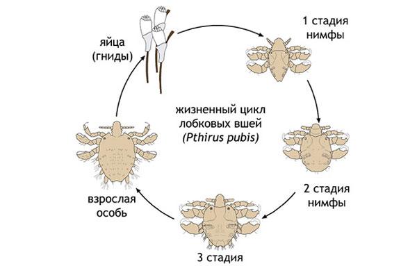 Жизненный цикл лобковой вши